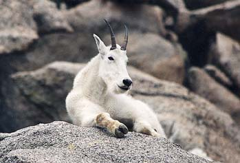 image:Mountain-Goat.jpeg