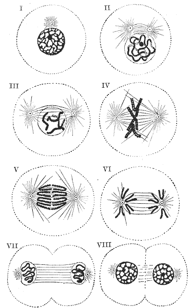 Diagram showing the changes which occur in the centrosomes and nucleus of a cell in the process of mitotic division. (Sch䦥r.) I to III, prophase; IV, metaphase; V and VI, anaphase; VII and VIII, telophase.