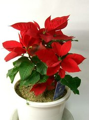The winter-blooming , originally from Mexico, has become an international symbol of Christmastime.