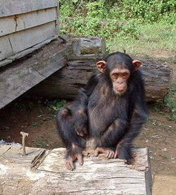 Genetic testing has shown that humans and  have most of their  in common. In a study of 90,000 , 's Morris Goodman found humans and chimpanzees share 99.4% of their DNA.[1] (http://www.freep.com/news/nw/chimp20_20030520.htm) [2] (http://www.reasons.org/resources/apologetics/humans_chimps_same_genus.shtml).