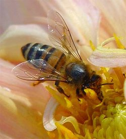 Bee loaded with pollen.Image provded by Classroom Clipart (http://classroomclipart.com)