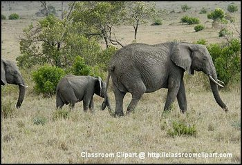 African Elephant with calf, in Kenya.