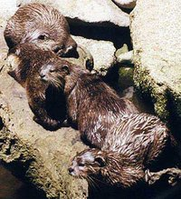 European River Otters
