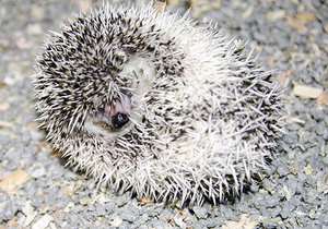 Hedgehog rolled into a ball.