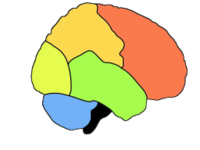 The lobes of the cerebral cortex include the  (red),  (green),  (yellow), and  (orange).