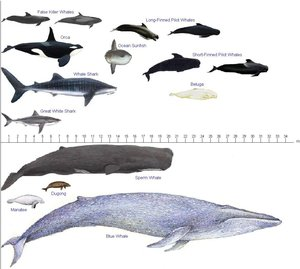 Size comparison between some well-known whales and other sea animals