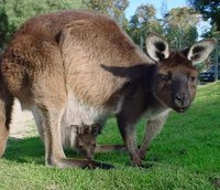 Western Grey Kangaroo with joey.