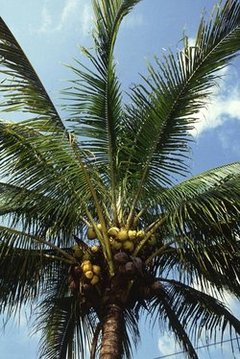 "Manila ""dwarf"" coconut palm"