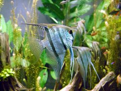 Freshwater angelfish
